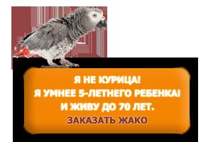 купить попугая жако - серый африканский попугай